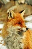 狐狸红色通配 库存图片