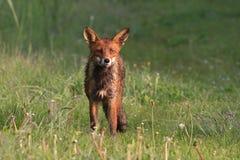 狐狸红色 图库摄影