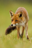 狐狸红色 免版税库存图片