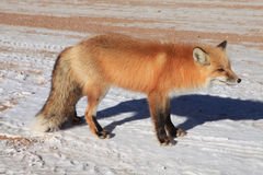 狐狸红色 免版税库存照片