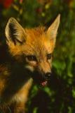 狐狸纵向小狗红色 免版税库存图片