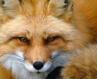 狐狸纵向红色 库存图片