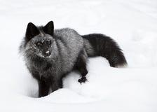 狐狸纵向银 库存图片