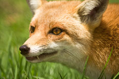 狐狸纵向 免版税图库摄影