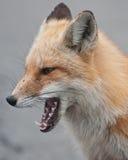 狐狸纵向 库存图片