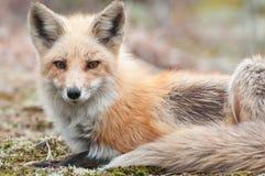 狐狸纵向 免版税库存图片