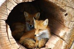 狐狸隐藏的孪生 免版税图库摄影