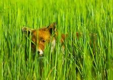 狐狸隐藏 免版税库存照片