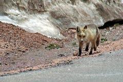 狐狸雪 免版税库存图片