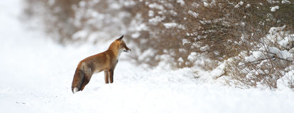 狐狸雪 库存照片