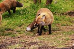 狐狸领导先锋 免版税库存图片