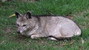 狐狸,犬,野生动物 股票视频