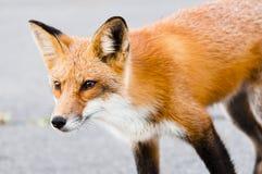 狐狸 图库摄影