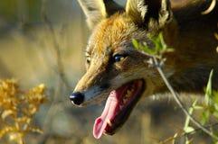 狐狸 免版税图库摄影