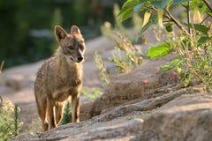 狐狼上升的小山的画象 免版税库存图片