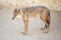 狐狼在托泽尔 图库摄影