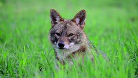 狐狼在森林 股票视频