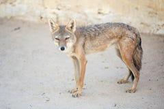 狐狼在突尼斯动物园里 免版税库存照片