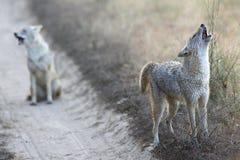 狐狼在Kanha国家公园印度 免版税库存照片
