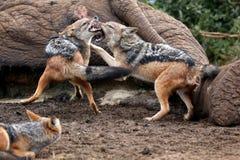 狐狼战斗 免版税图库摄影
