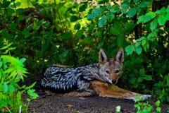 狐狼的画象 免版税库存照片