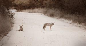 等待在路的狐狼 库存图片