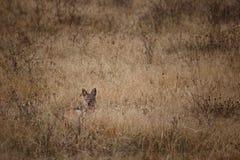狐狼观看的牺牲者在Ngorongoro国家公园(坦桑尼亚) 免版税库存照片