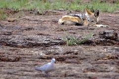 狐狼鸽子注意 免版税库存图片