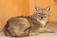 狐狼 免版税库存图片