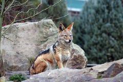狐狼 免版税图库摄影