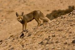 狐狼 免版税库存照片