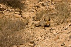 狐狼 图库摄影