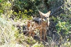 狐狼- Addo大象国家公园 图库摄影