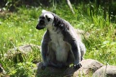 狐猴在丹麦野生动物园 免版税库存图片
