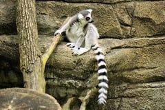 狐猴坐一个岩石在动物园里 库存照片