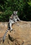 狐猴坐石头 免版税图库摄影