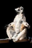 狐猴猴子 免版税库存图片