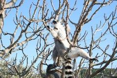 狐猴猴子 免版税库存照片