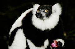 狐猴被翻动的varecia variegata 免版税图库摄影