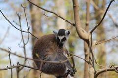 狐猴面孔画象,坐树枝 免版税库存照片