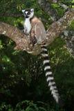 狐猴马达加斯加尾部有环纹通配 免版税库存照片