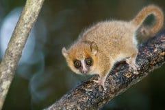 狐猴鼠标 免版税库存照片