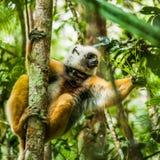 狐猴-马达加斯加 免版税库存照片