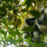 狐猴-马达加斯加 免版税图库摄影