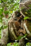 狐猴-马达加斯加 免版税库存图片