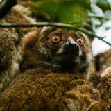 狐猴-马达加斯加 库存照片