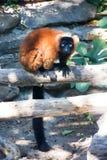 狐猴 库存照片