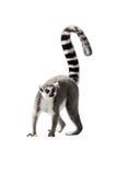 狐猴 免版税库存照片
