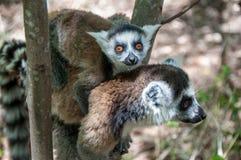 狐猴catta妈妈和婴孩Nahampoana储备的 免版税库存照片