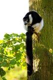 狐猴vari 库存图片